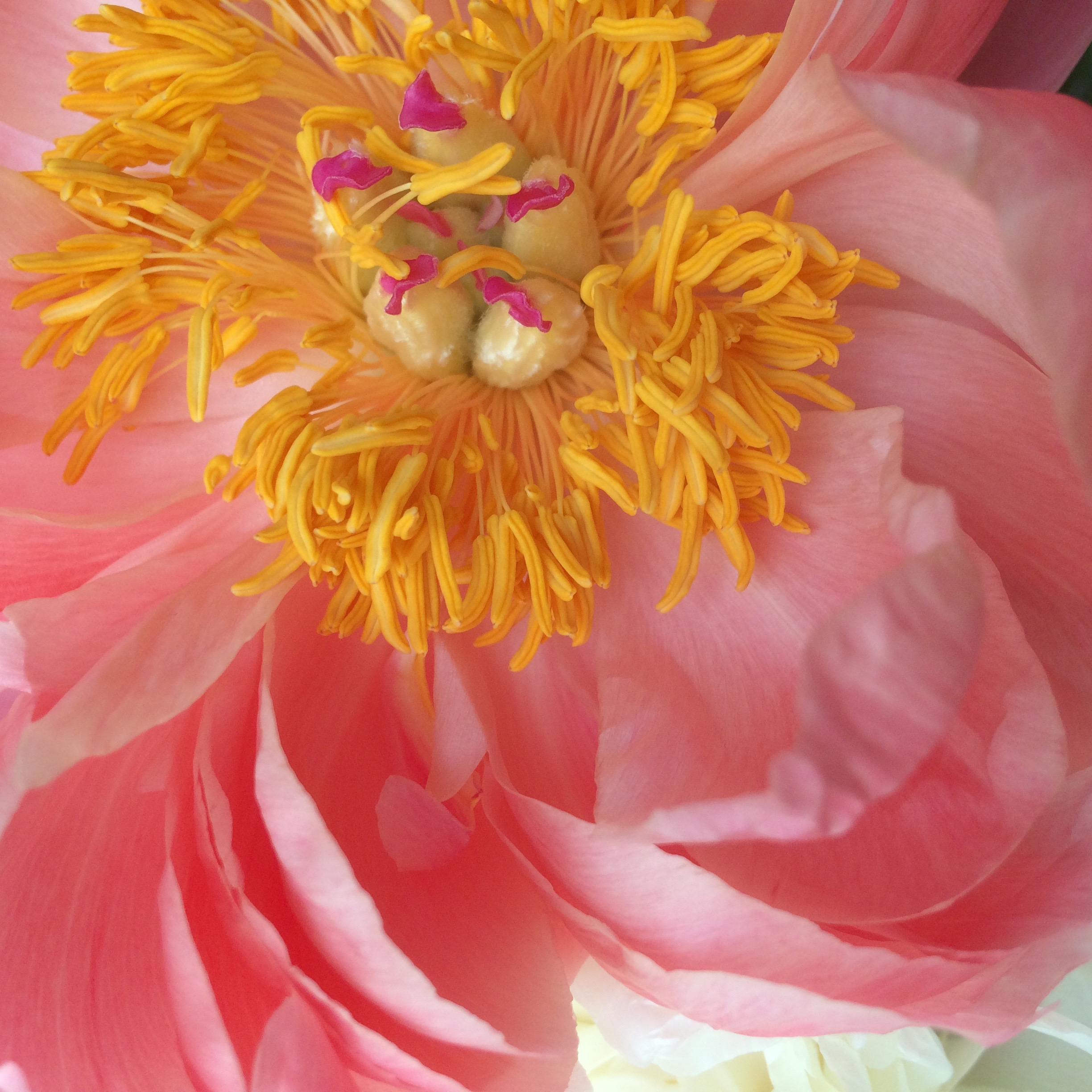 coral peony with yellow centre