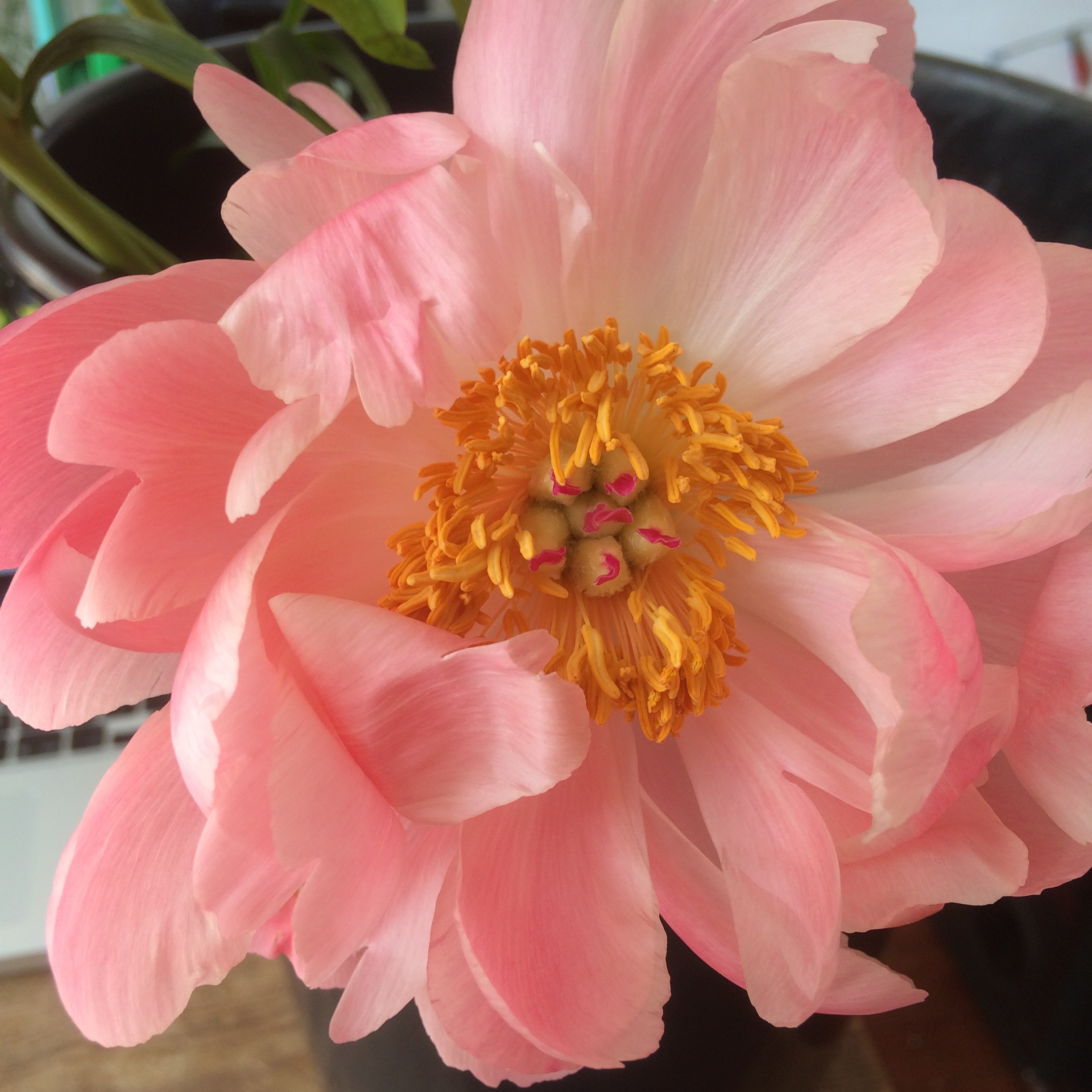 coral peonies turning into lighter pink shade