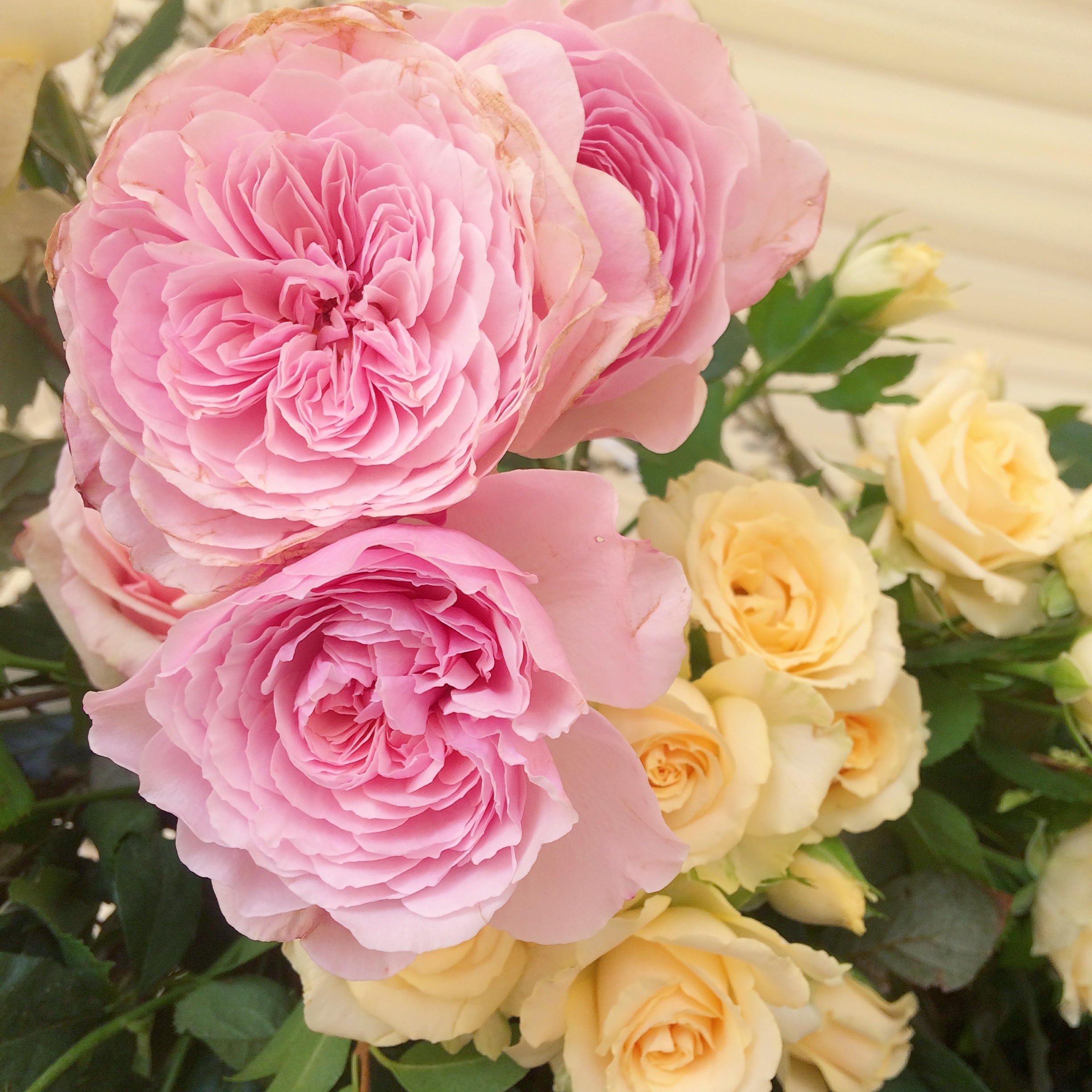 english garden roses for a wedding in june