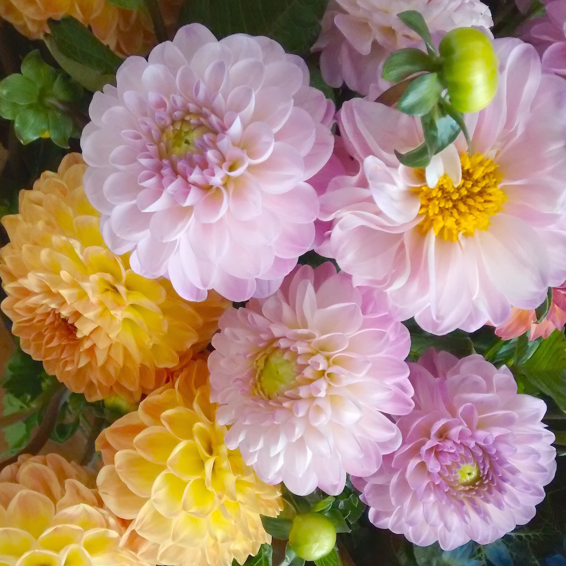 pink and yellow dahlias for early summer wedding flowers