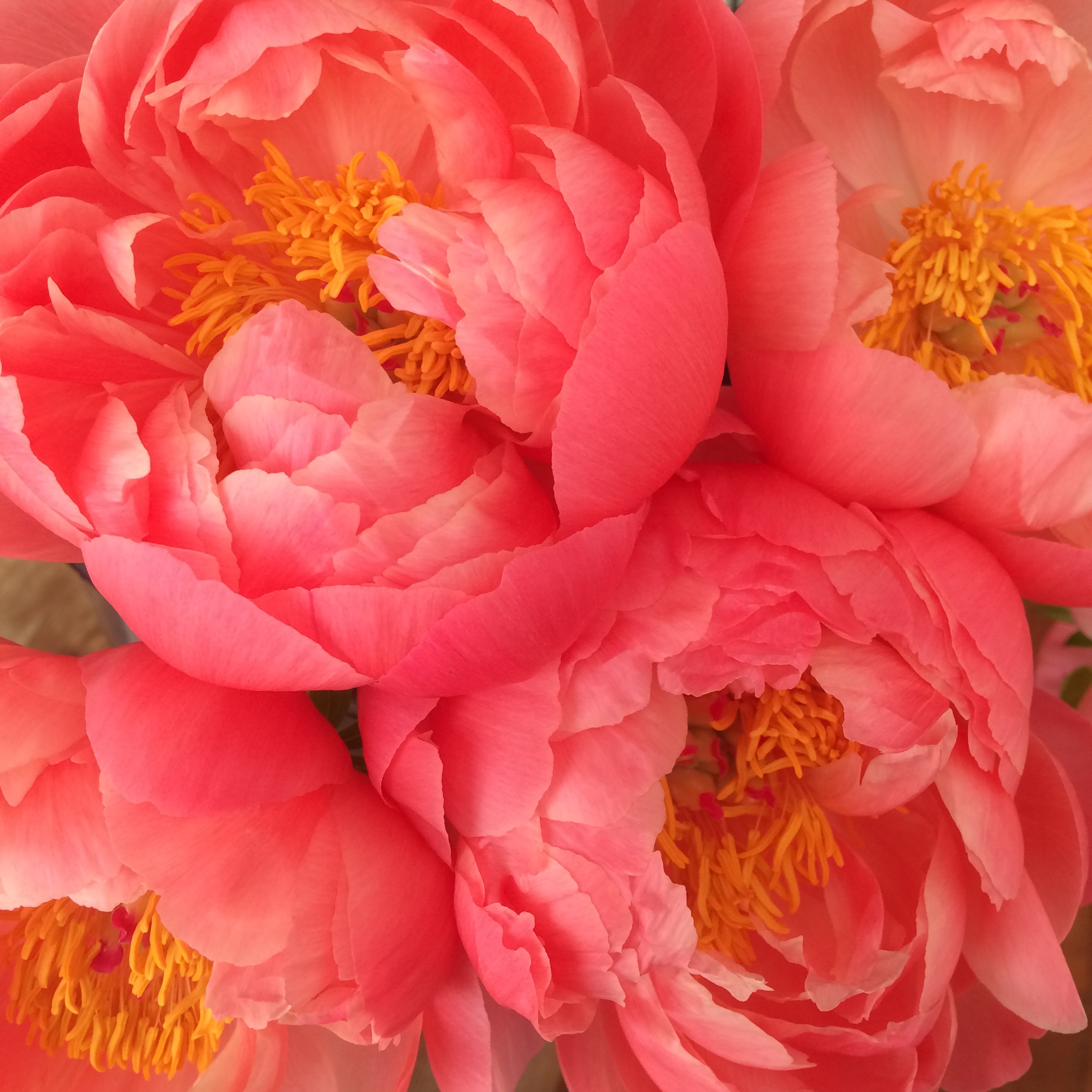 coral charm peony for a june wedding