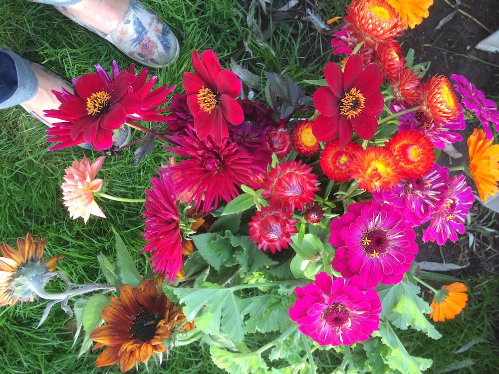bright pink zinnias and dahlias, english grown