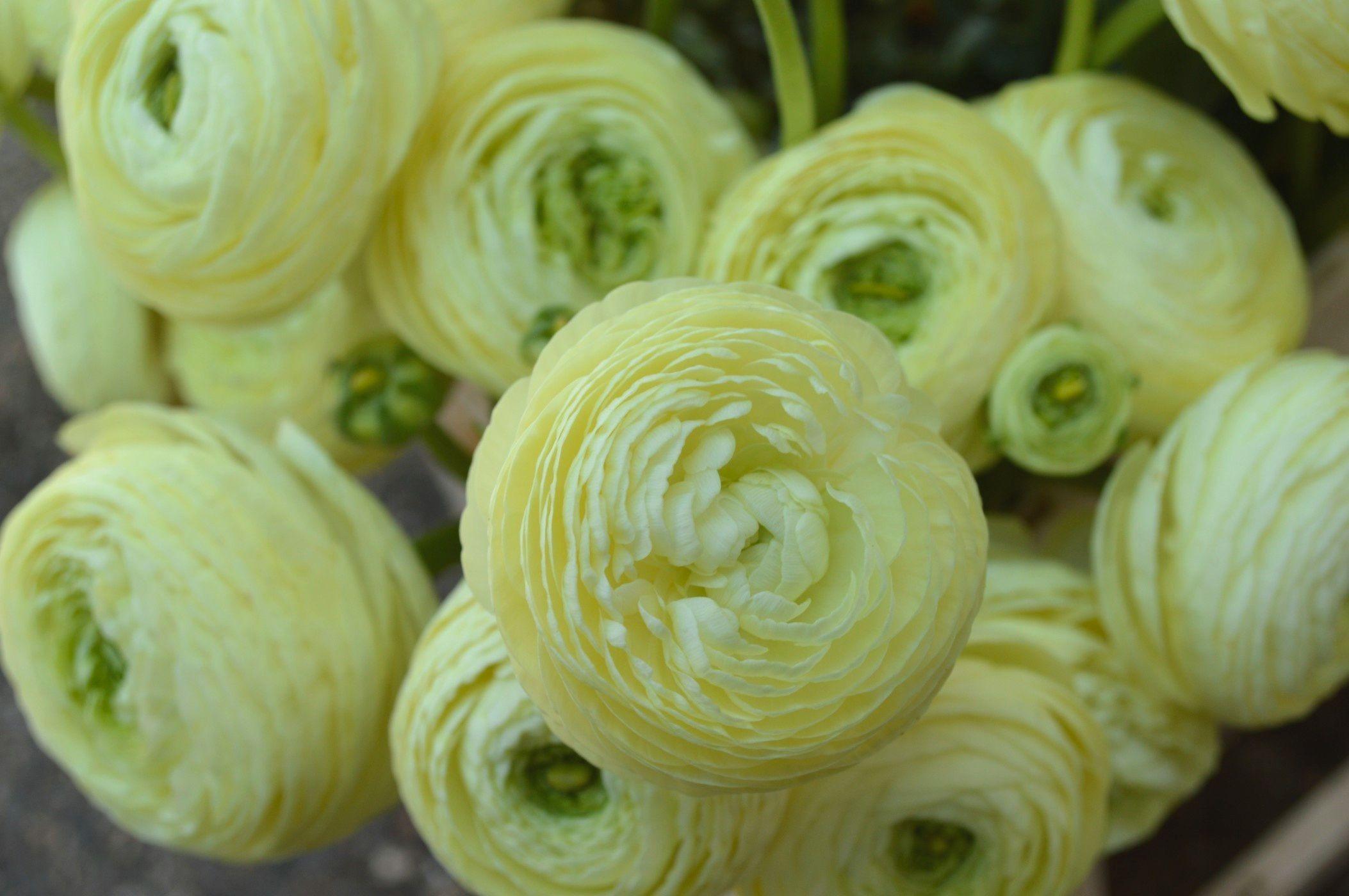 cream ranunculus for a spring wedding