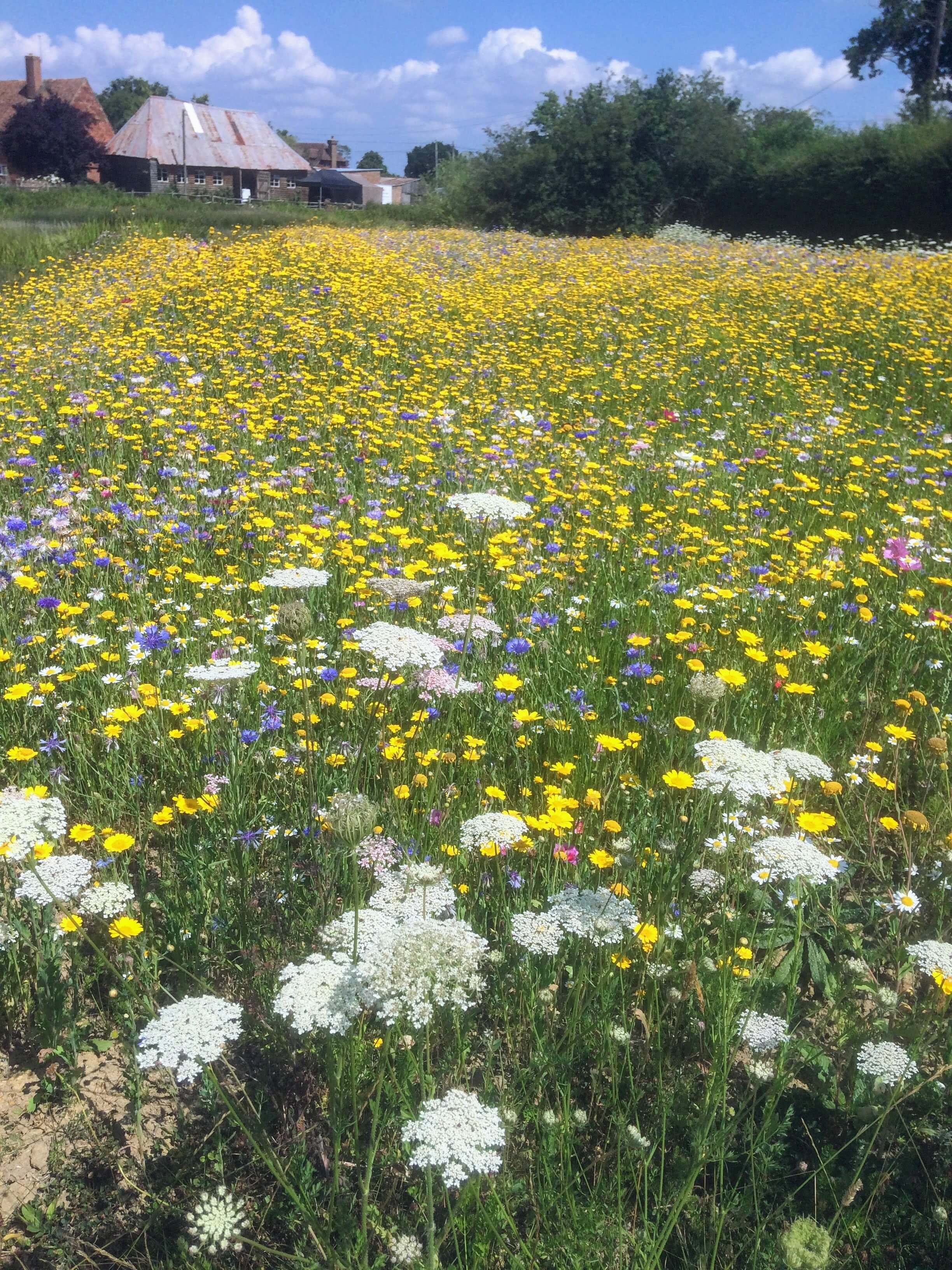 wild flowers at the house meadow in kent