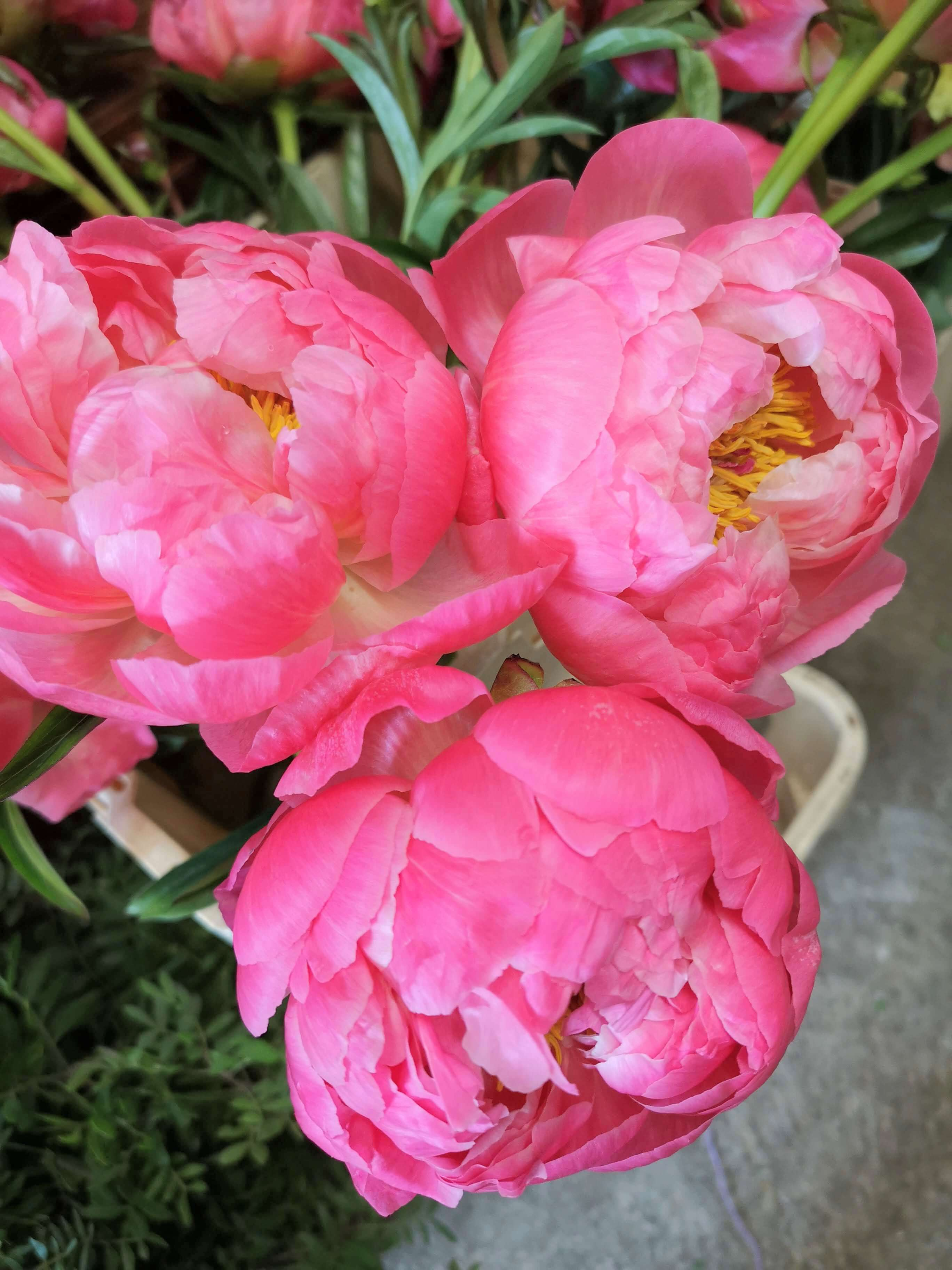 Coral charm peonies just about to to open up